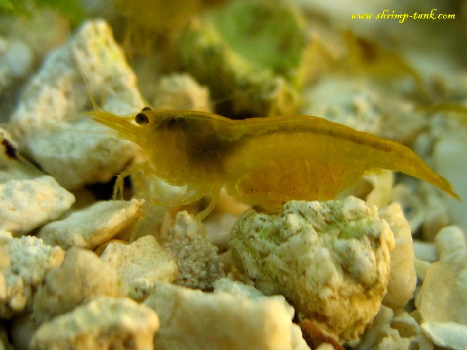 This yellow shrimp is a future mother