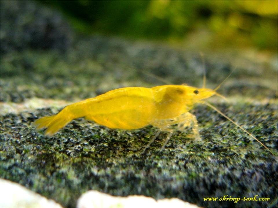 Yellow Shrimps (Neocaridina heteropoda var. yellow) Photos