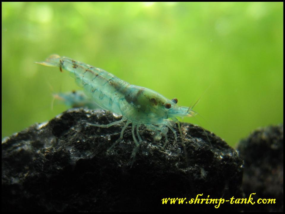 Neocaridina cf. zhangjiajiensis var. blue shrimp on a rock