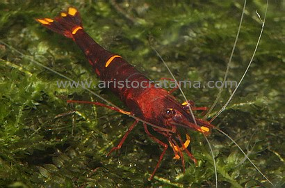 Sulawesi Shrimps. Yellow Stripe Red Bee Shrimp