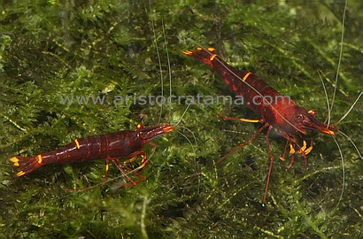 shrimp_yellow_stripe_red_bee1.jpg