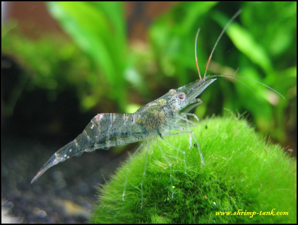 White-Nose Shrimp : Tiger Nose Related Keywords & Suggestions - Tiger Nose Long Tail ...